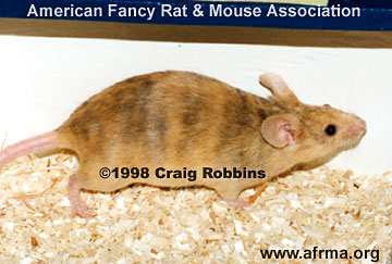 Fawn Brindle mouse