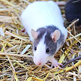 Galaxy Den Fancy Rat Rattery