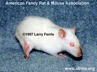 Limp Tailed Rat
