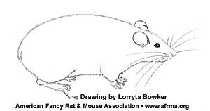 Tailless Rat Drawing