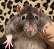 Regal Squeaks Rattery