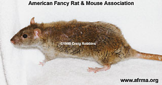Female Rex Rat