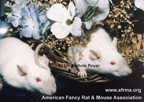 Two Blue Point Siamese rats