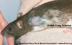 Rat with chewed patch on shoulder