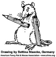 Rat eating pencil