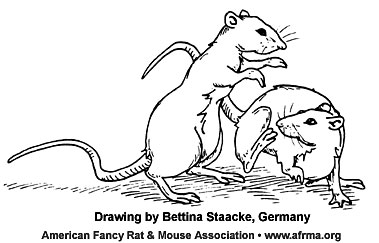 Fighting rats