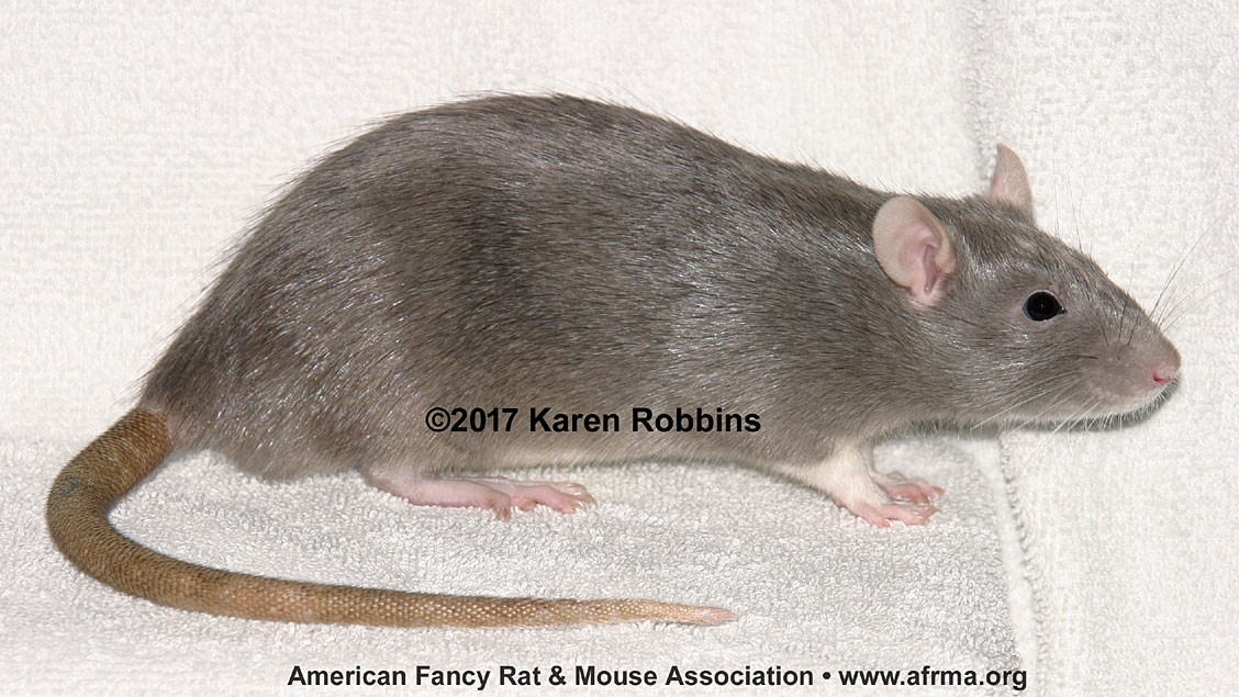 A female rat with vaginal atresia, side view