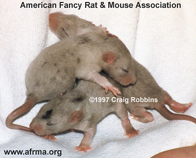 Merle baby rats
