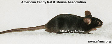 Male mouse side