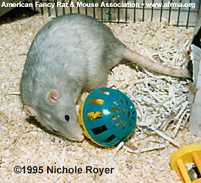 Rat with ferret ball