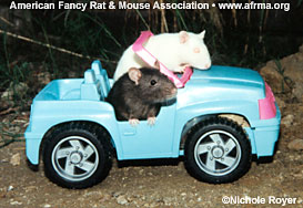 Rats in toy car