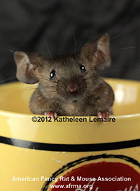 Agouti mouse in coffee cup