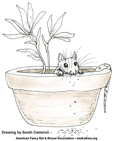 Rat in Pot