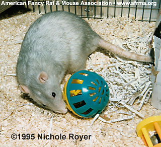 Rat with Ball