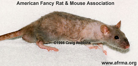 7-week Homozygous Rex Rat