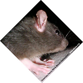 Rat with Pimples