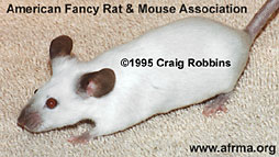 Blue Point Siamese mouse
