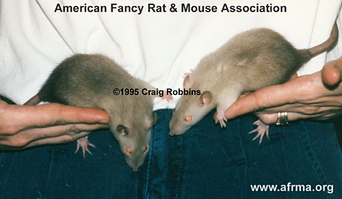 Seal Point Siamese baby rats