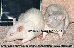 Pink-eyed Whate rats