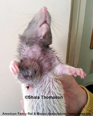 Rat with abscess