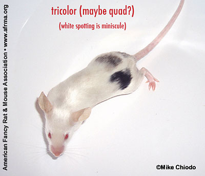 Tricolor (maybe quad)