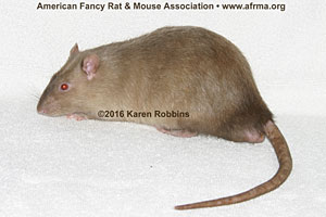 Siamese Sable Rat