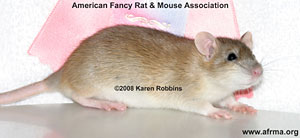 Golden Agouti Rat