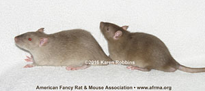 Agouti Siamese Sable vs. medium Siamese Sable kitten rats