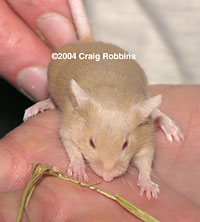 Argente Long Hair Mouse