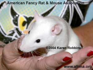 Black-Eyed White Rat