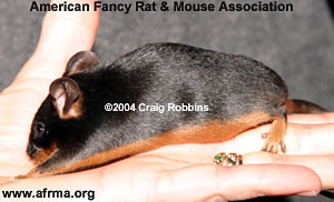 Black Tan Mouse