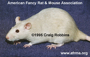 Blue-Beige Rat