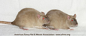 Light Siamese Sable vs. medium Siamese Sable female rats with dark points