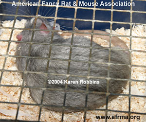 Chinchilla Blaze Berkshire Rat