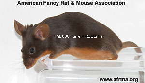 Chocolate Tan Mouse