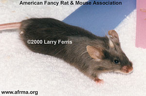 Crested/Tufted Mouse