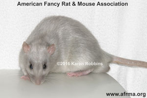 Russian Blue D'Argent Rat