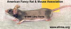 Beige Fox Satin Mouse