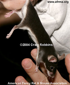 Chocolate Fox Mouse