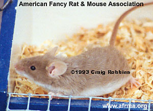Coffee Fox Frizzie Mouse