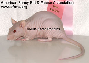 Hairless rat
