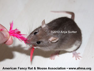 Rat playing with a feather