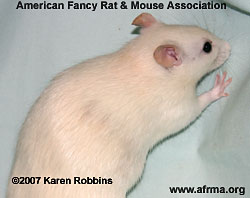 Ivory Rat with Beige-colored Hairs/Patch on side