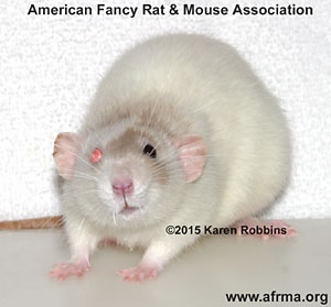 Beige Odd-Eye Rat