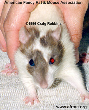 Cinnamon Odd-Eye Rat