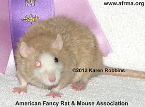Fawn Blaze Berkshire Odd-Eye Rex Rat