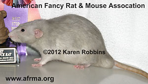 Platinum Rat