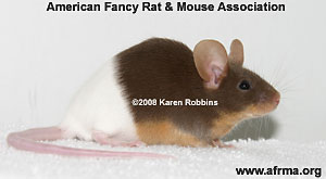 Rump White Mouse