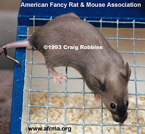 Siamese Sable Mouse