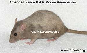 Silver Lilac Variegated Rat